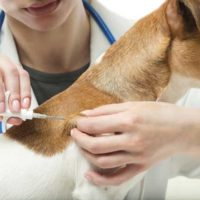 microchip implantation dog
